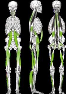 vertikala-muskelkedjor